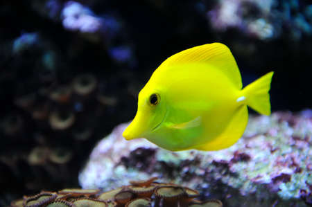 fish scales: Photo of a tropical yellow tang on a coral reef Stock Photo