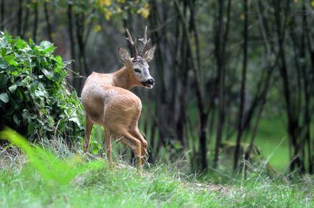 roebuck: Young deer in summer forest