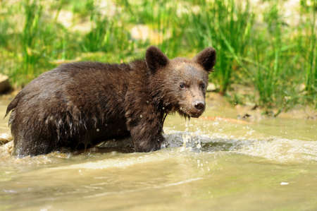 Brown bear cub in a forest photo