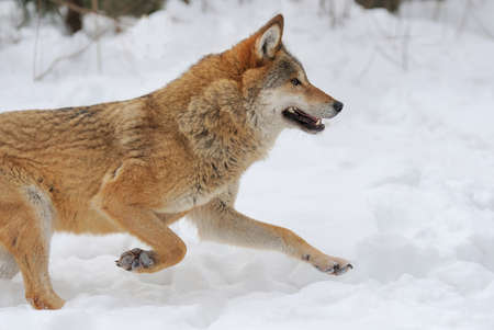 lupus: Grey Wolf (Canis lupus) in winter time