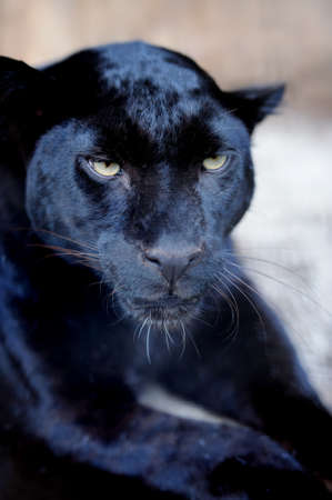 black leopard: Wild black leopard in a natural environment Stock Photo