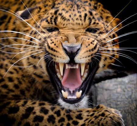 Adult wild leopard in a natural environment Stock Photo