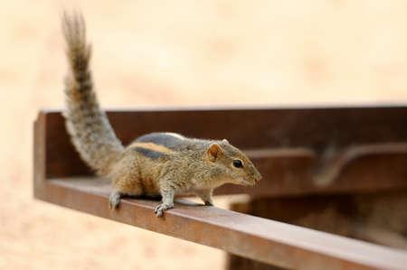 ardilla: Poco hermosa ardilla. Sri Lanka