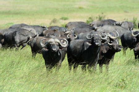 Wild African buffalo bull. Africa, Kenya