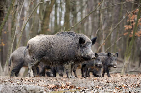 male pig: Wild boar in autumn forest Stock Photo