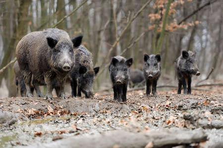 Wild boar in autumn forest Foto de archivo