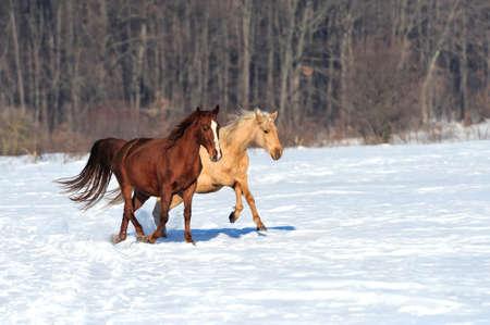 Horse runs gallop on the winter field photo