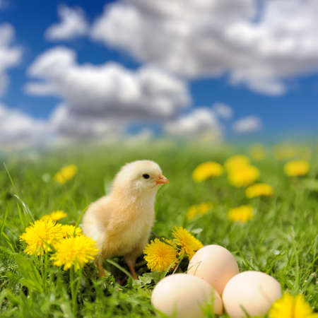Little chicken and egg on the grass in summer day photo