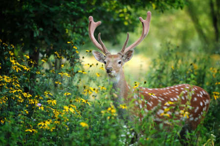 Whitetail Deer standing in summer wood photo