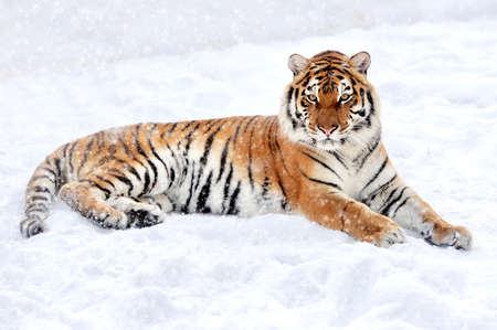 big tree: Beautiful wild siberian tiger on snow Stock Photo