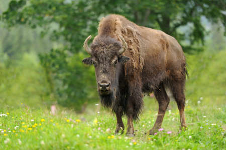 Large male of bison in the forest photo