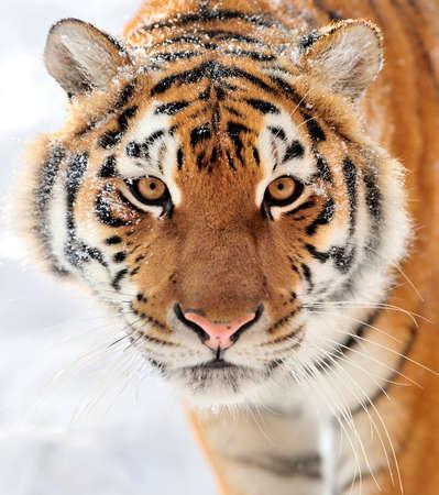 siberian tiger: Beautiful wild siberian tiger on snow Stock Photo