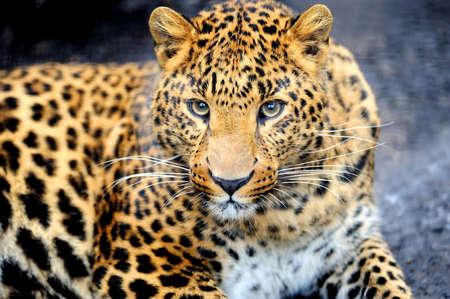 animal in the wild: Leopardo salvaje enojado sobre fondo negro