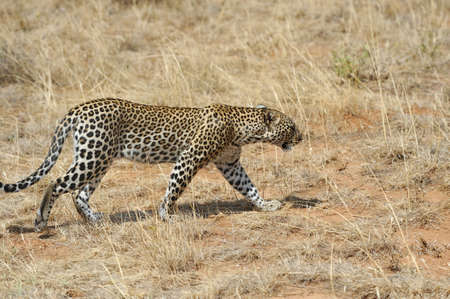 pardus: African Leopard (Panthera pardus) in the National Park Stock Photo