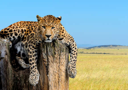 Leopard sitting on a tree on nature background Zdjęcie Seryjne