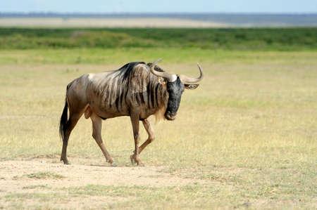 taurinus: Wildebeest running on dusty plains ( Taurinus; connochaetes ) - South Africa