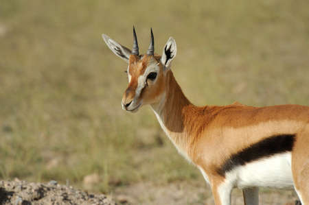 gazelle: Thomsons gazelle on savanna in Africa Stock Photo