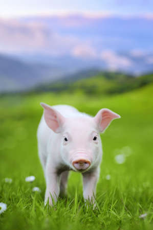 young pig: Young pig on a spring green grass in meadow