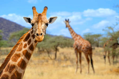 cute giraffe: Giraffe in front Amboseli national park Kenya