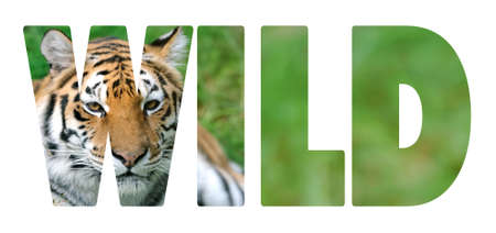 tiger page: Background with word Wild. Letters are made of tiger