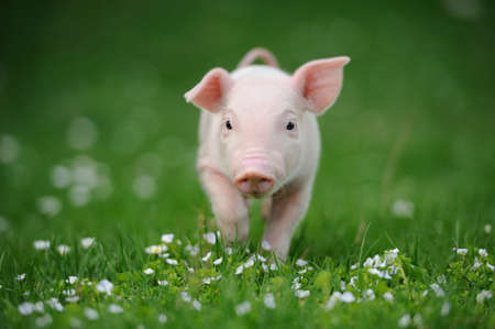 Young pig on a spring green grass photo
