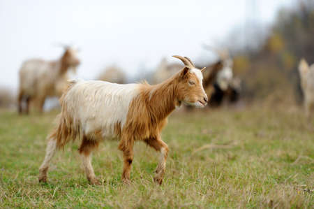 herd: Goat in meadow. Goat herd