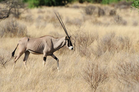 Gemsbok in the National Reserve of Africa, Kenya photo