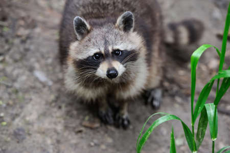Raccoon in the forest in the natural environment photo
