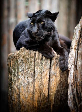 Black leopard Stock Photo - 38366866