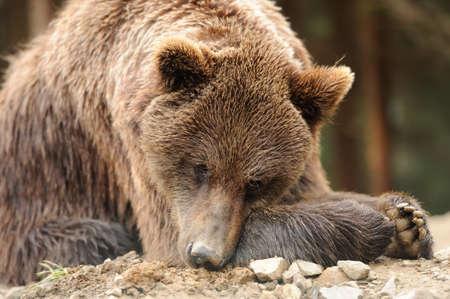 kodiak: Brown bear in forest after rain Stock Photo