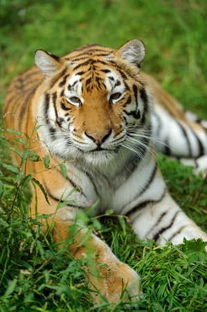 tigresa: Primer plano hermoso tigre en la hierba Foto de archivo