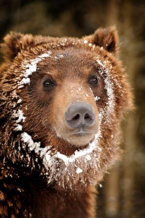 wild brown bear: Close-up portrait wild brown bear