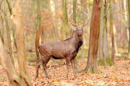 elaphus: deer