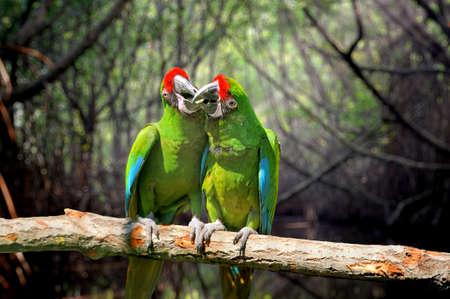 sfondo giungla: Parrot (Severe Macaw) on branch, jungle background Archivio Fotografico