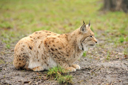 lince: Lince joven