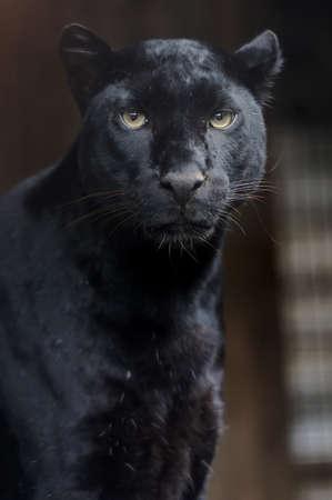 Portrait of young Leopard on a dark background Reklamní fotografie - 38367349