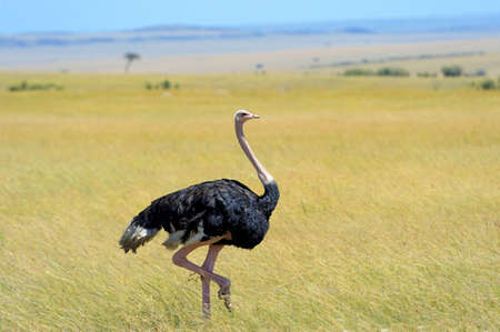 struthio camelus: Male of African ostrich (Struthio camelus) in national reserve park