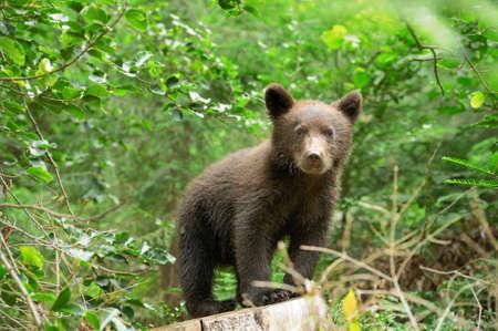 bear cub: Brown bear cub in a forest Stock Photo