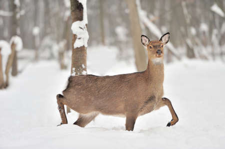 scottish female: Young deer in winter forest
