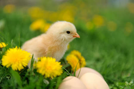 Little chicken and egg on the grass photo