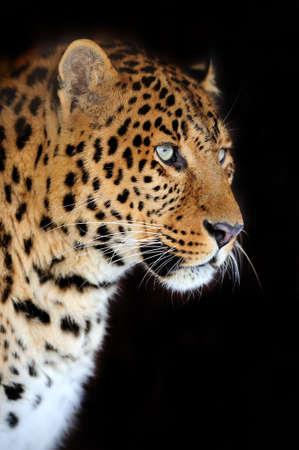 catlike: Leopard portrait on dark background