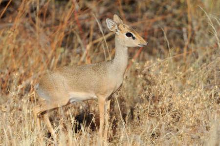 tanzania antelope: Dik-dik in the National Reserve of Africa, Kenya