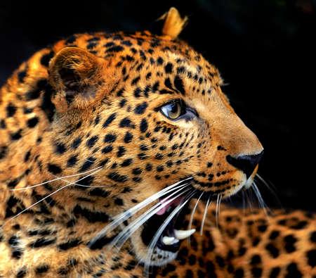 Ritratto di leopardo su sfondo scuro