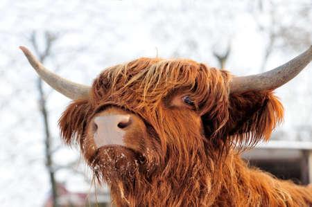クローズ アップの美しい肖像画スコットランド牛