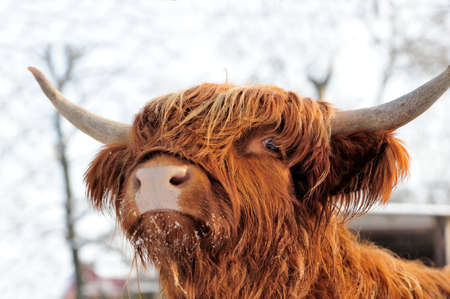 Close-up beautiful portrait scottish cattle Imagens