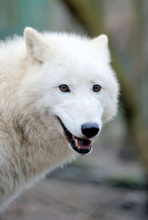 animal eyes: Portrait beautiful white wolf in forest