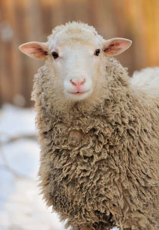 ovine: Young sheep in winter day