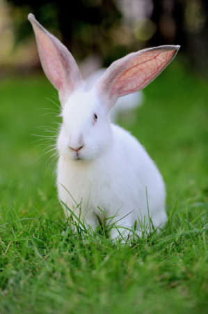 lapin blanc: Bébé de lapin dans l'herbe. jour d'été