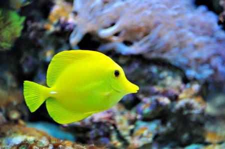 tang: Photo of a tropical yellow tang on a coral reef Stock Photo