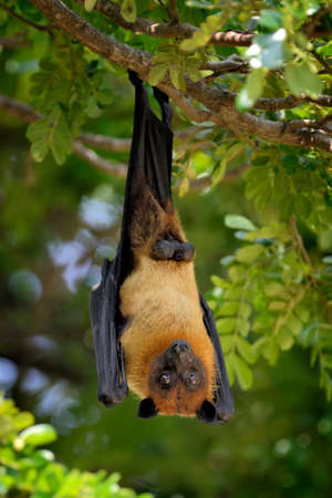 genitals: Black flying-foxes (Pteropus alecto) hanging in a tree Stock Photo